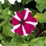 Petunia Plant