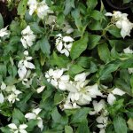 Mussaenda Plants