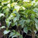 Prestage Plant