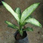 Diffebachia
