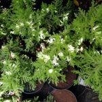 Goden Cyperus